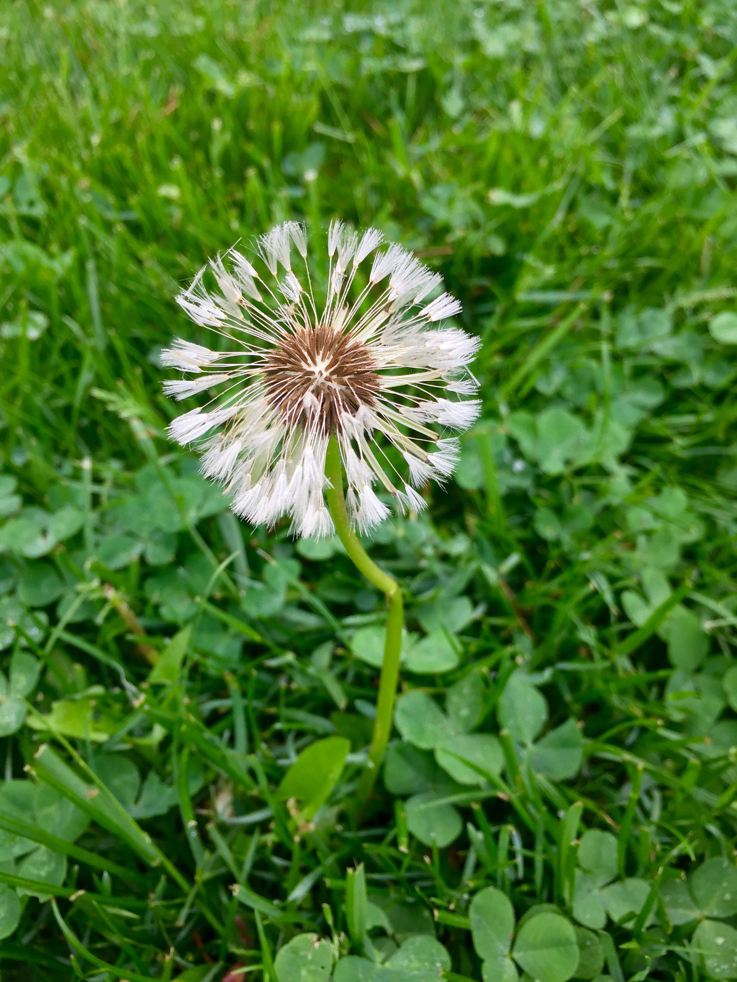 Free stock photo of grass, flower, dandelion, weed