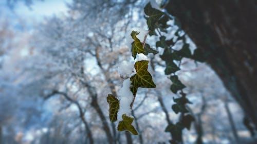 Free stock photo of ivy, snow, trees, winter
