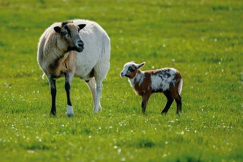 White Sheep and Brown Lamb in Green Lawn Grasses