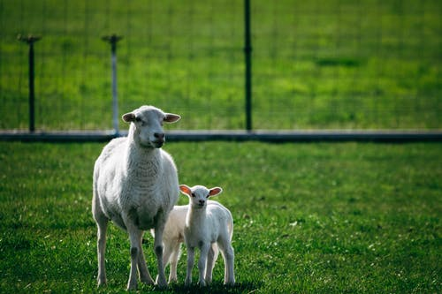 Free stock photo of farm, field, lambs, sheep