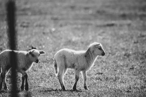 Free stock photo of black and white, lambs