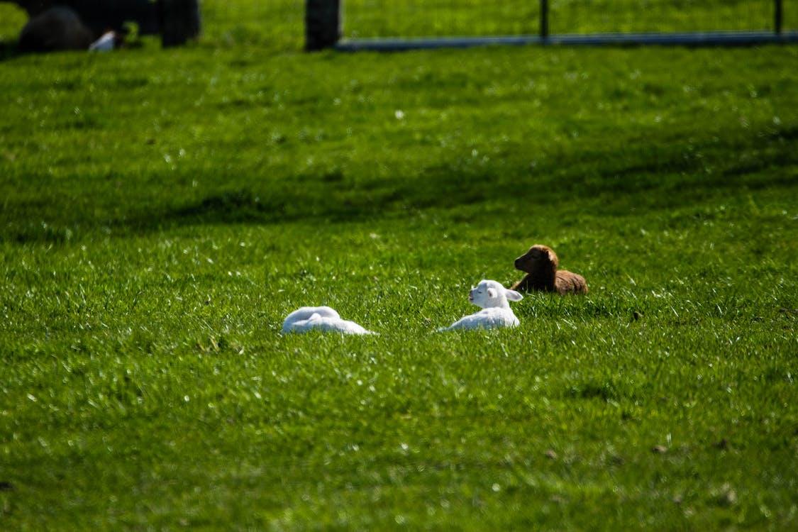 bane, får, græs