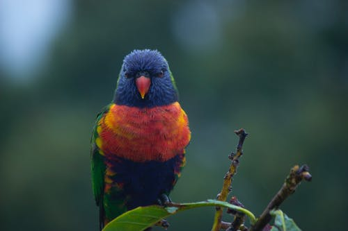 Close-up Photo of Perched Rainbow Lorikeet