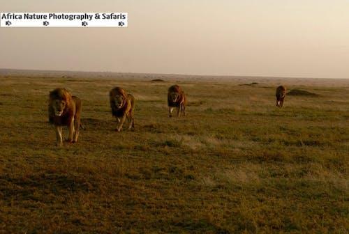 Free stock photo of africa safari, ngorongoro, photo safari, serengeti