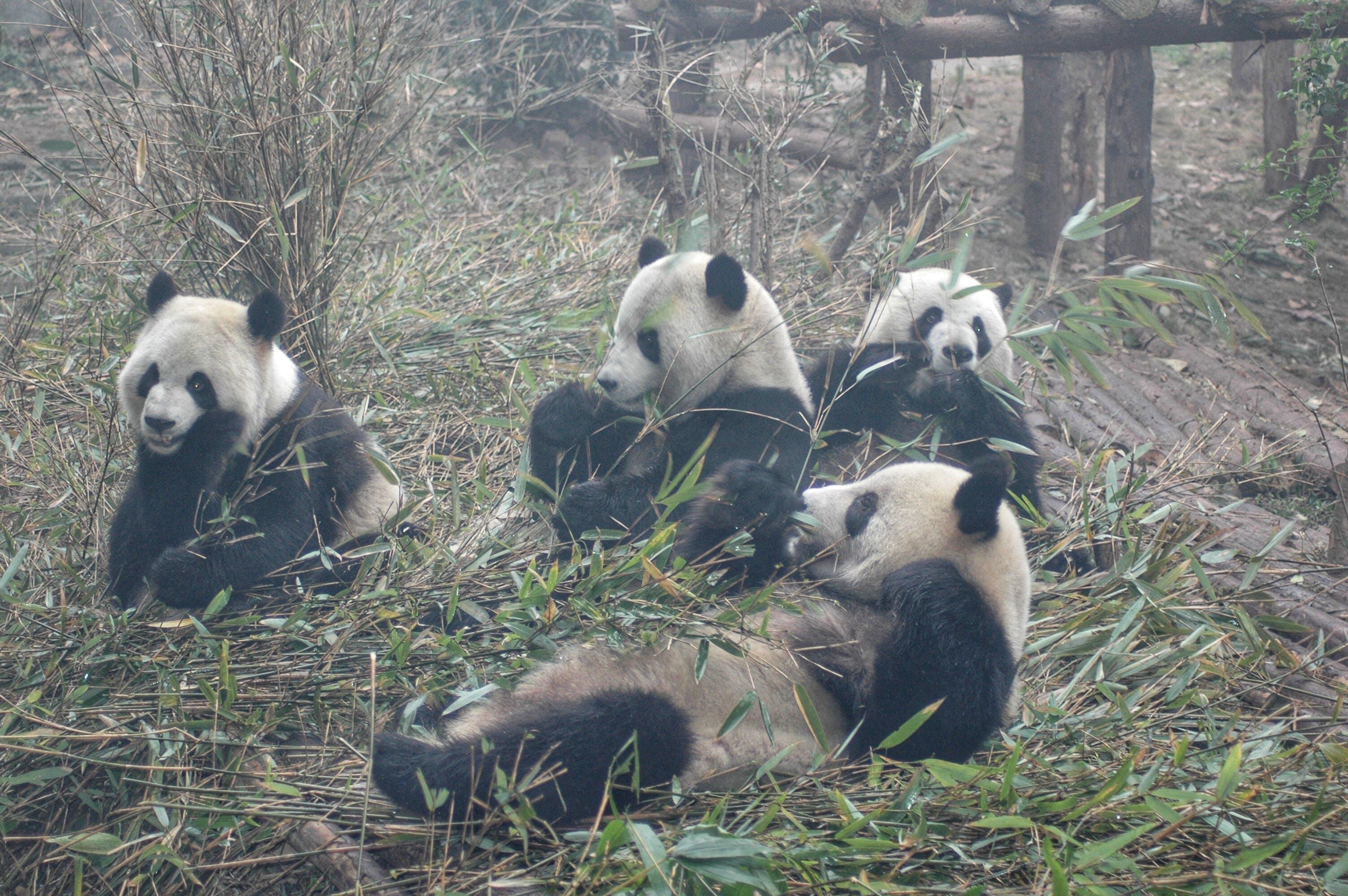 Kostenloses Stock Foto zu bambus, china, panda