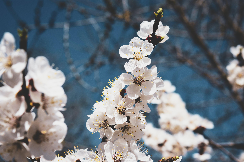 Δωρεάν στοκ φωτογραφιών με δέντρο, κλαδί, λευκός, λουλούδι
