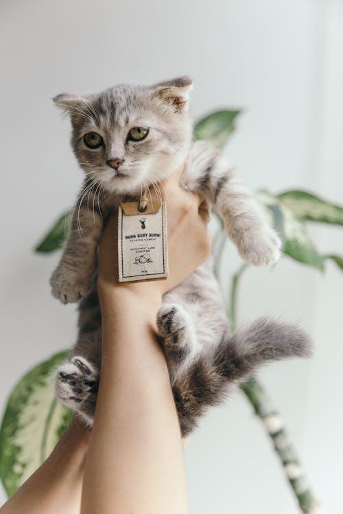 Foto stok gratis anak kucing, berbulu halus, binatang, bulu