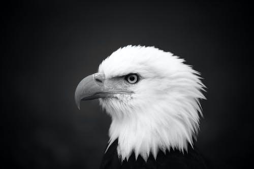 bnw, 깃털, 눈, 대머리 독수리의 무료 스톡 사진