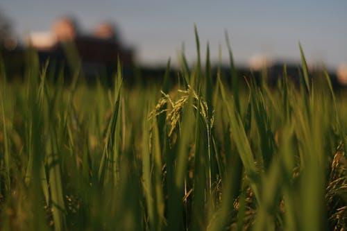 Ilmainen kuvapankkikuva tunnisteilla kasvu, kenttä, kesä, lähikuva