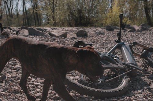 Free stock photo of against sunlight, bike, boxer, dog