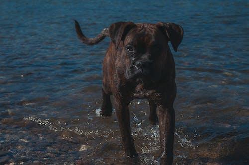 Ilmainen kuvapankkikuva tunnisteilla bokseri, katsominen, koira, meri