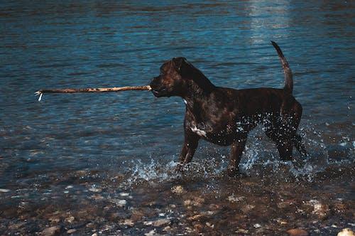 Ilmainen kuvapankkikuva tunnisteilla bokseri, koira, koiran lelu, koiran pelaaminen