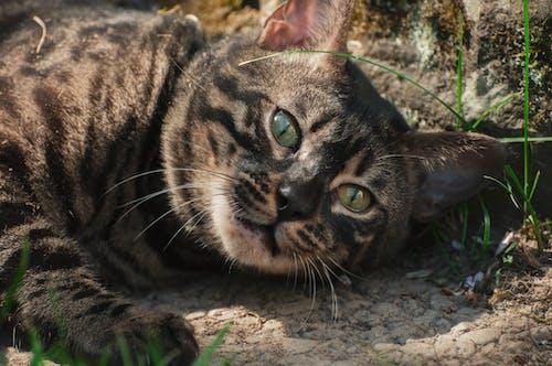 Ilmainen kuvapankkikuva tunnisteilla bengali, katsominen, kissa, kissan kasvot