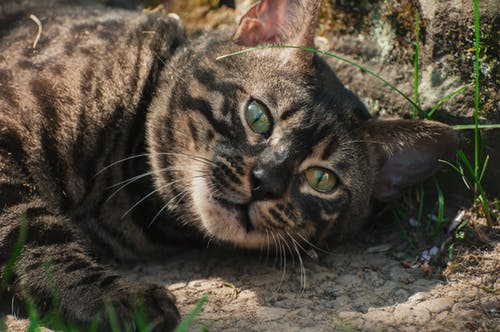 Free stock photo of bengal, cat, cat eyes, cat face