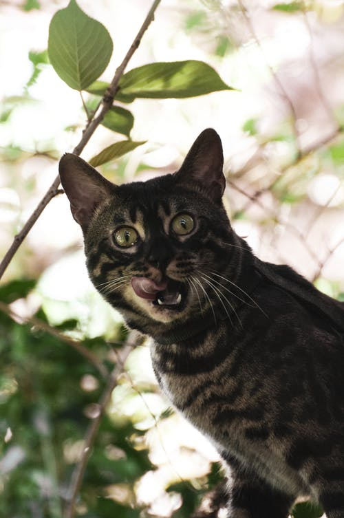 Free stock photo of bengal, cat, cat eyes, cat looking
