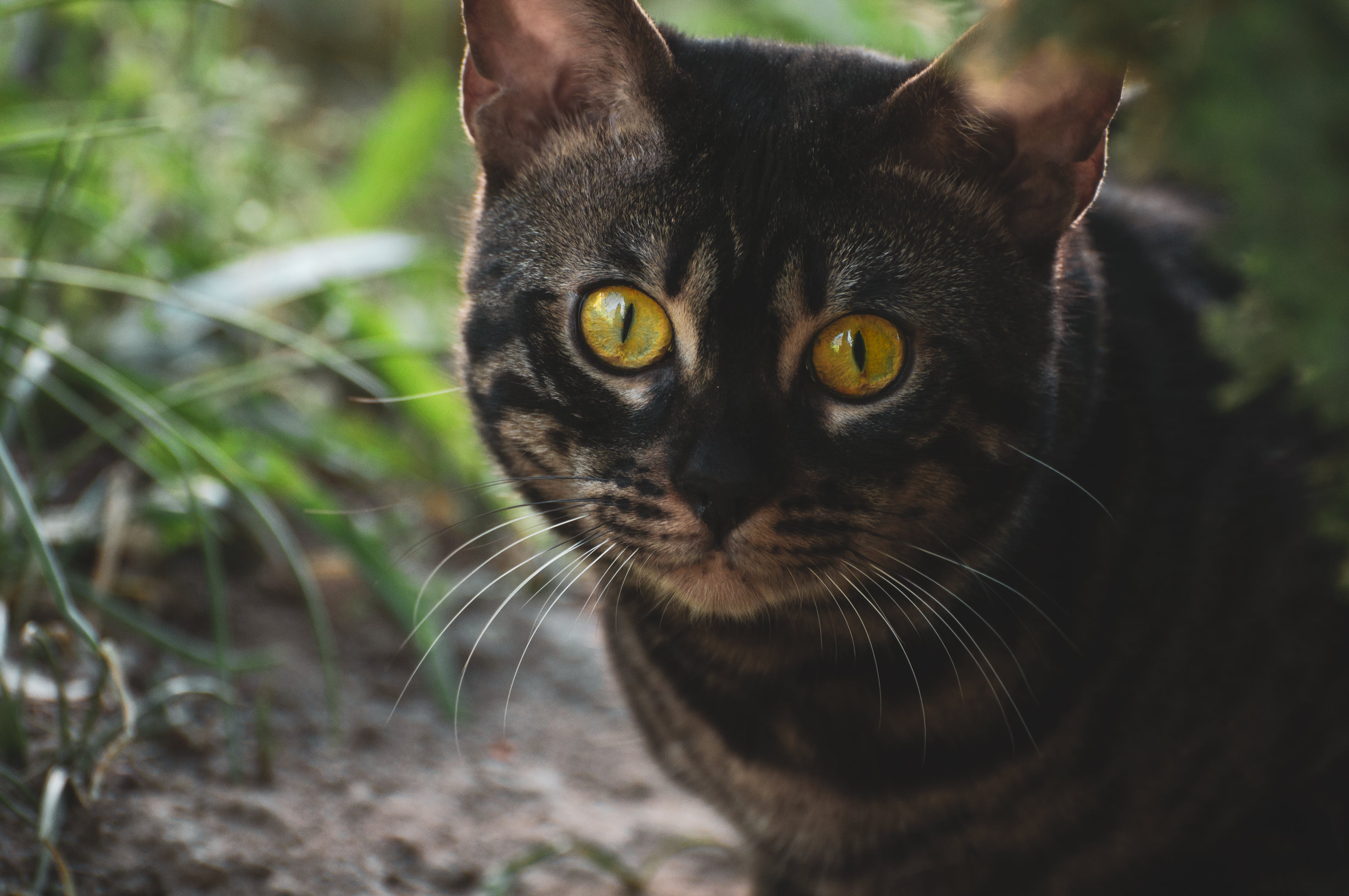 在狩猎, 大眼睛, 大耳朵, 孟加拉 的 免费素材照片