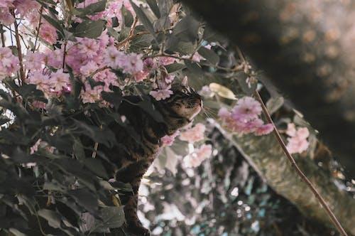 Ilmainen kuvapankkikuva tunnisteilla kirsikankukka, kissa, kissan kasvot, kukat