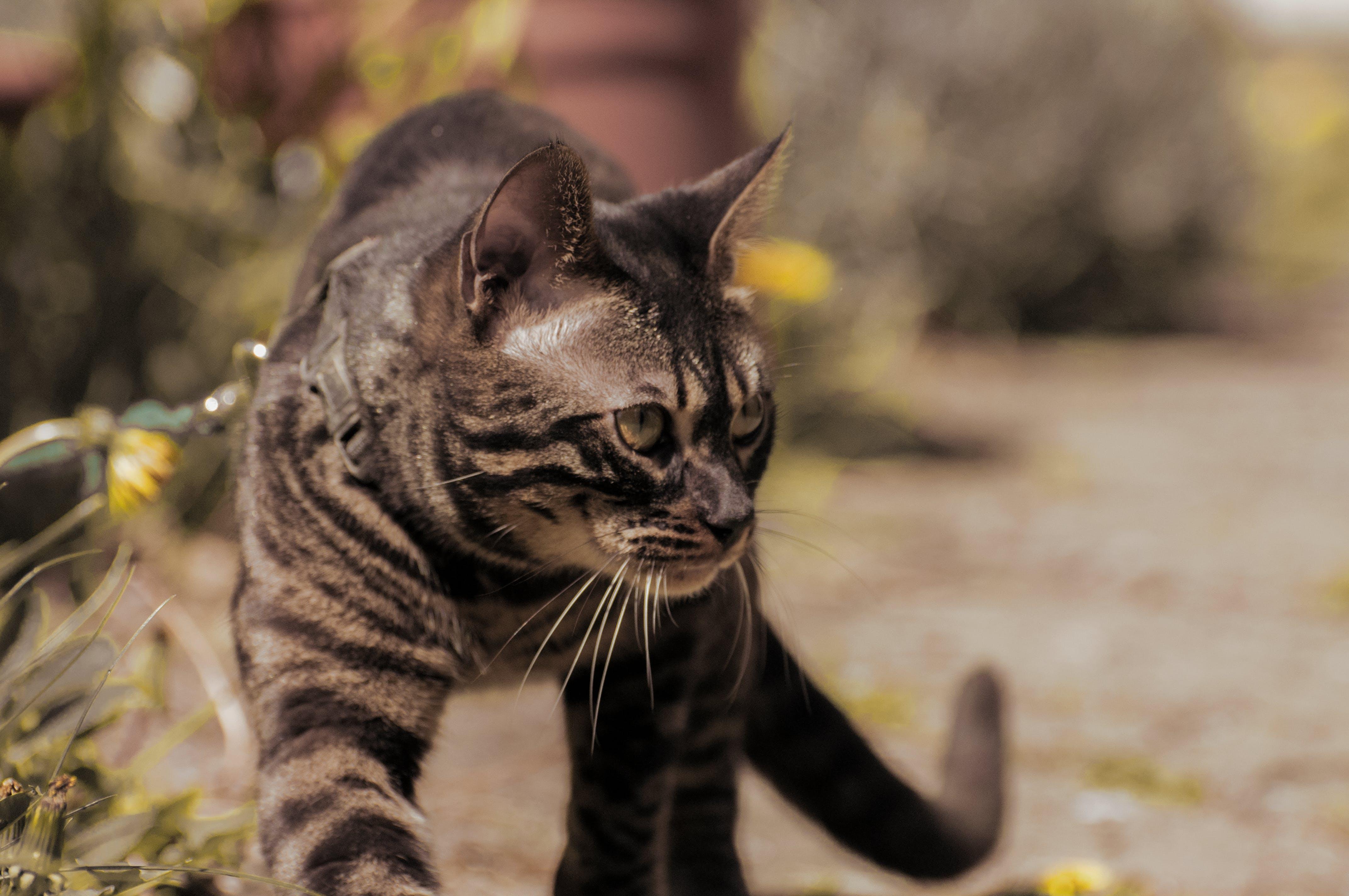 尾巴, 晴天, 步行, 虎斑貓 的 免费素材照片