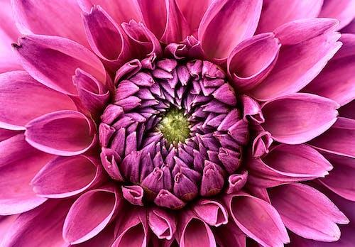 Photos gratuites de arrière-plans de bureau, centrale, dahlia, fleur