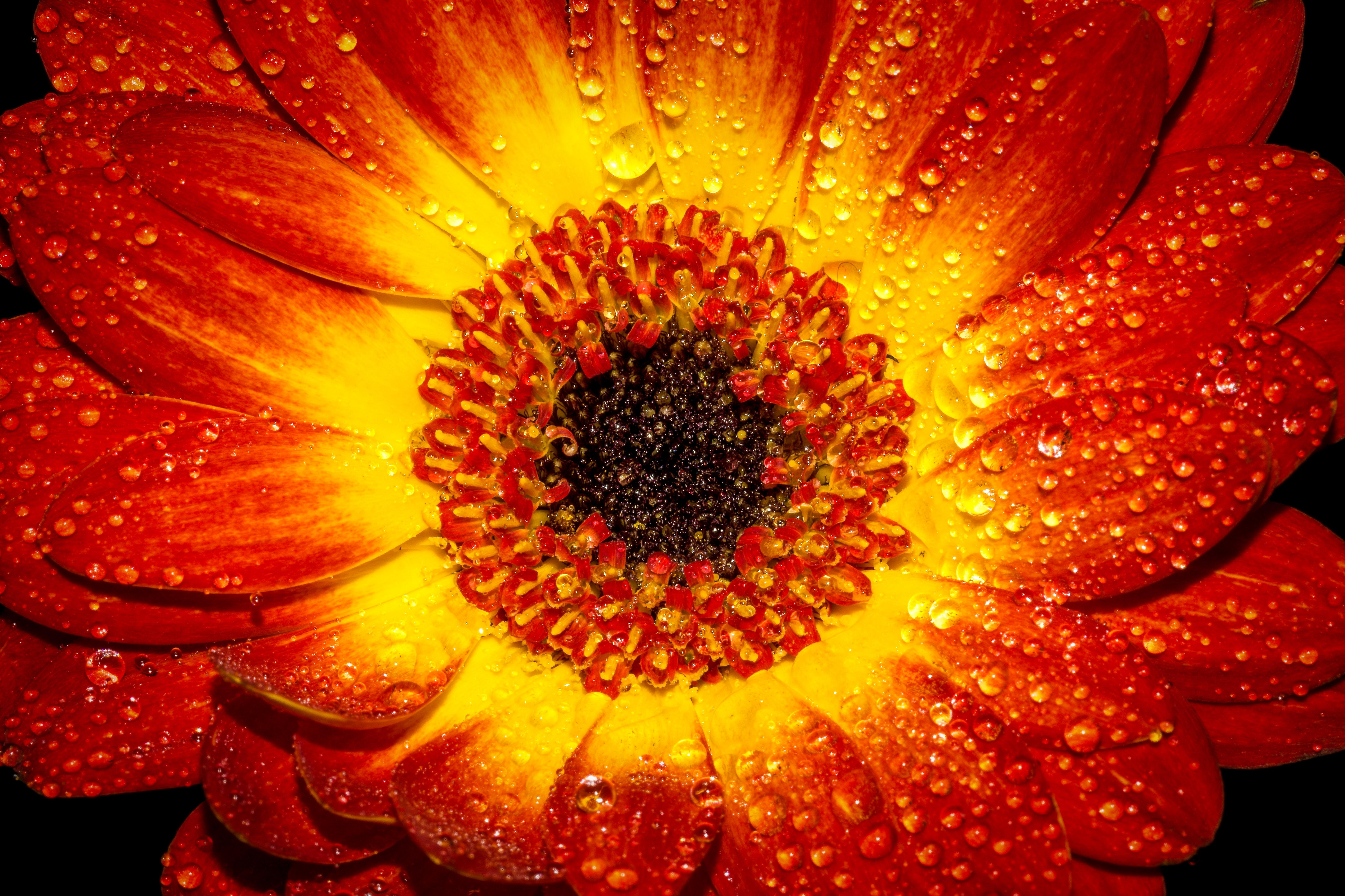 Red And Yellow Flower With Water Sprinkles Free Stock Photo