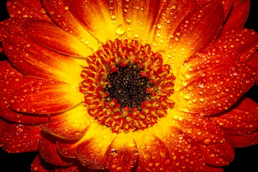 Red and Yellow Flower With Water Sprinkles