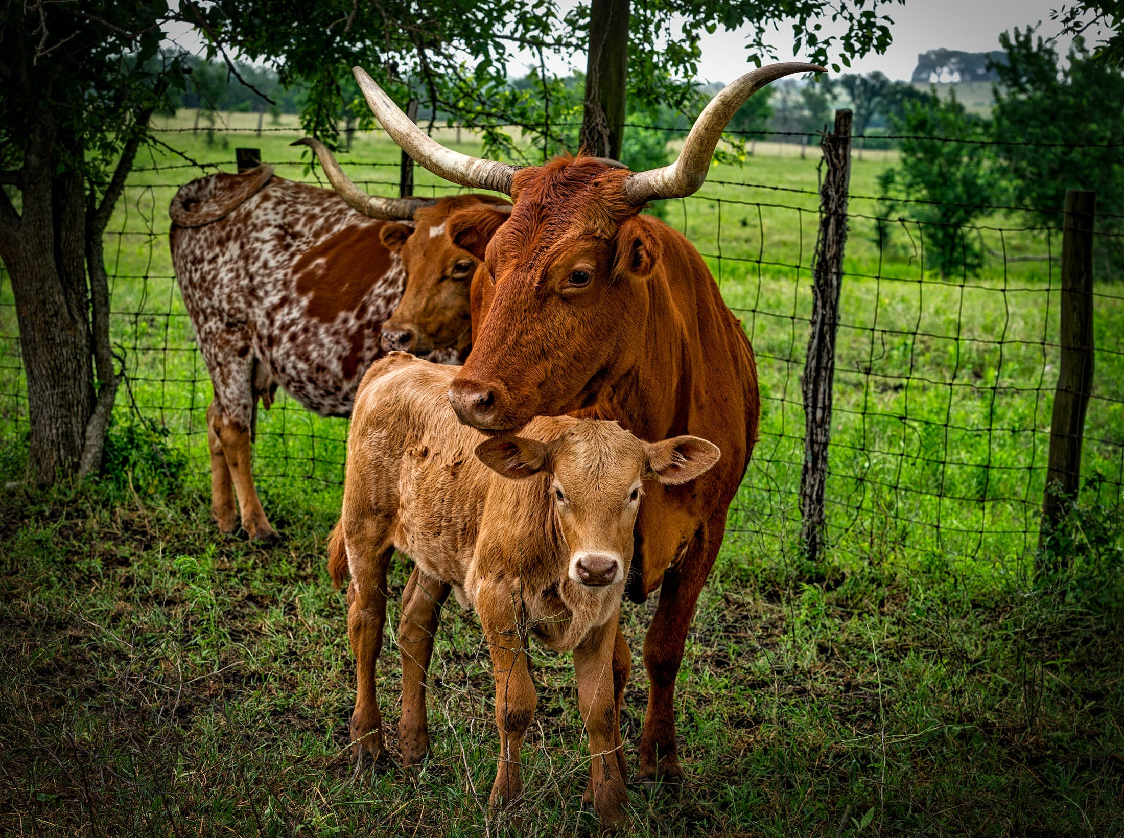 3 Brown Cow on Green Grass Field