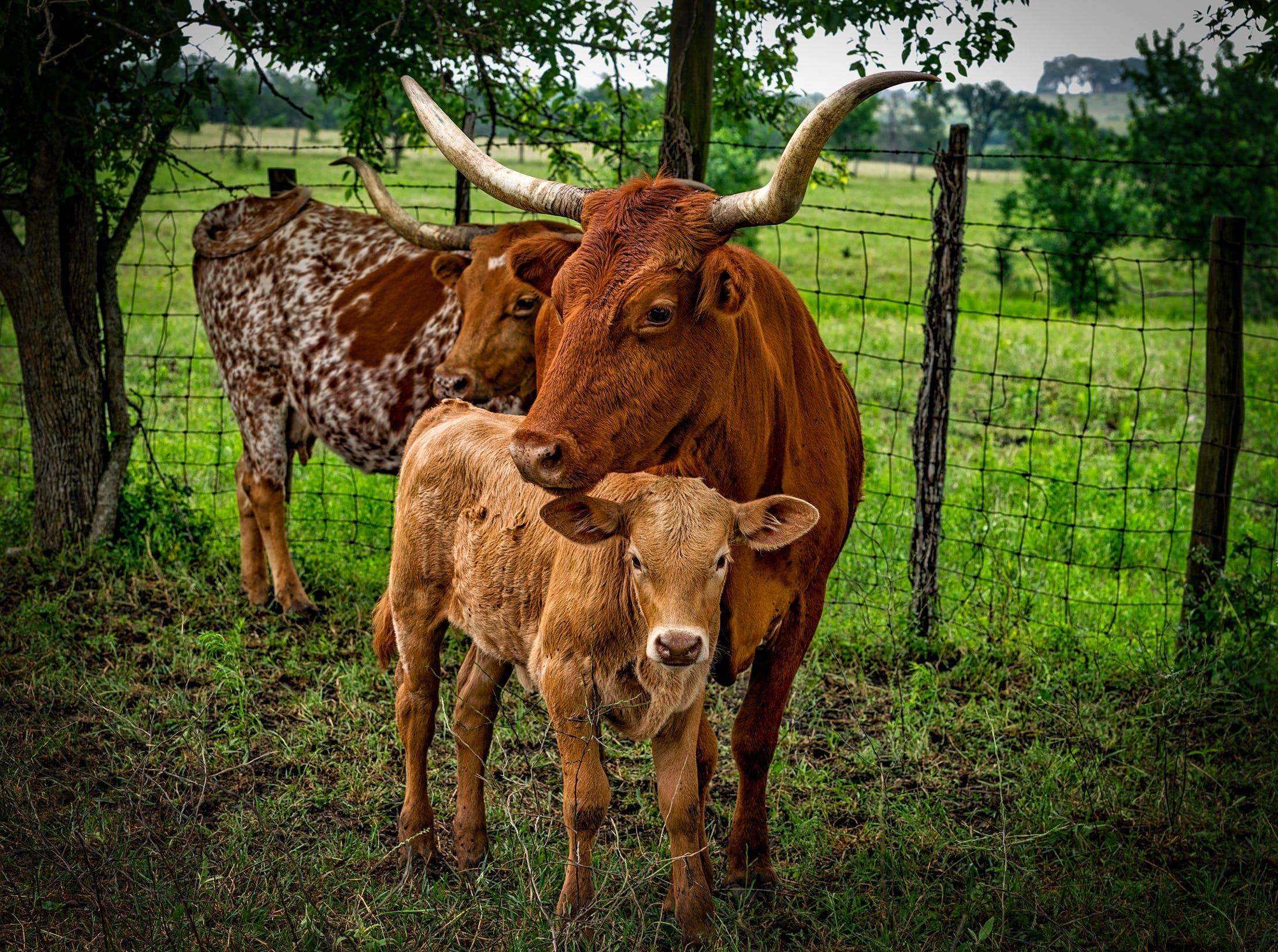 Immagine gratuita di alberi, animali, azienda agricola, bestiame