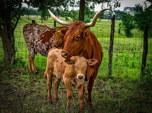 Fotobanka sbezplatnými fotkami na tému cicavec, črieda, dobytok, farma