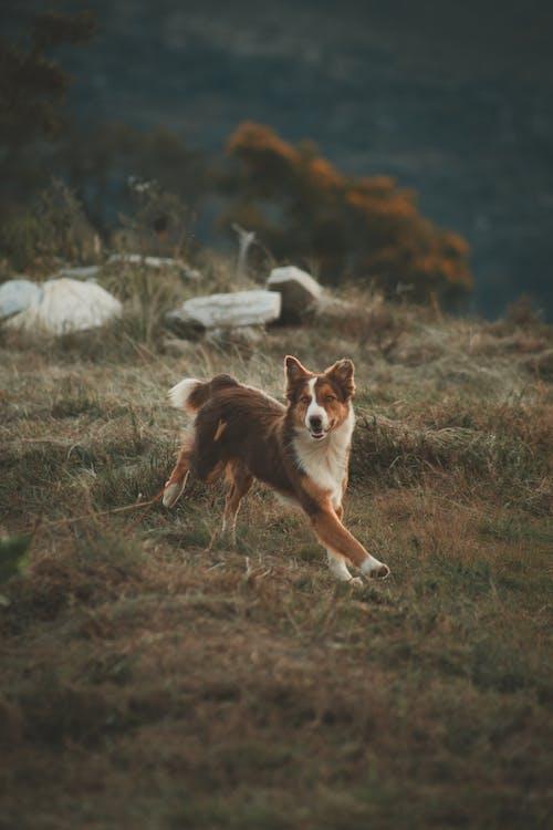 Brown Dog Running on Field