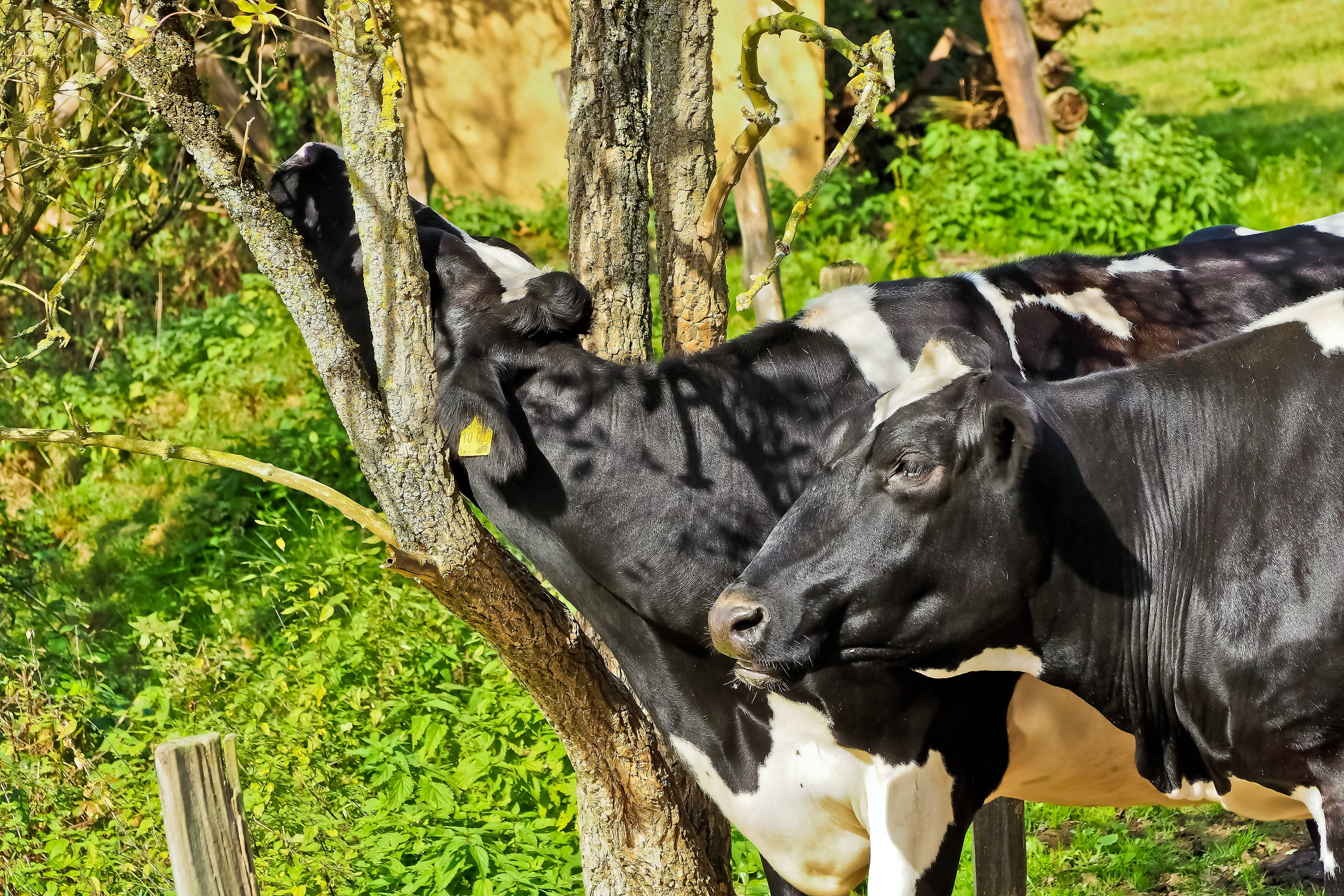 Two Cows Near Trees