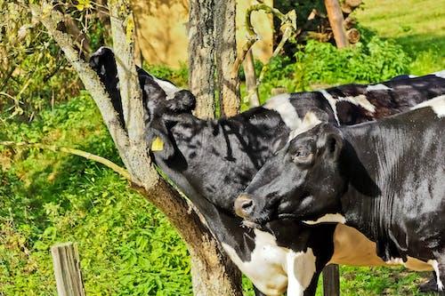 乾草地, 動物, 反芻動物, 哺乳動物 的 免费素材照片