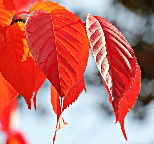 Red Leaf Tree