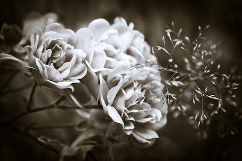 Fotos de stock gratuitas de blanco y negro, flora, floración, flores