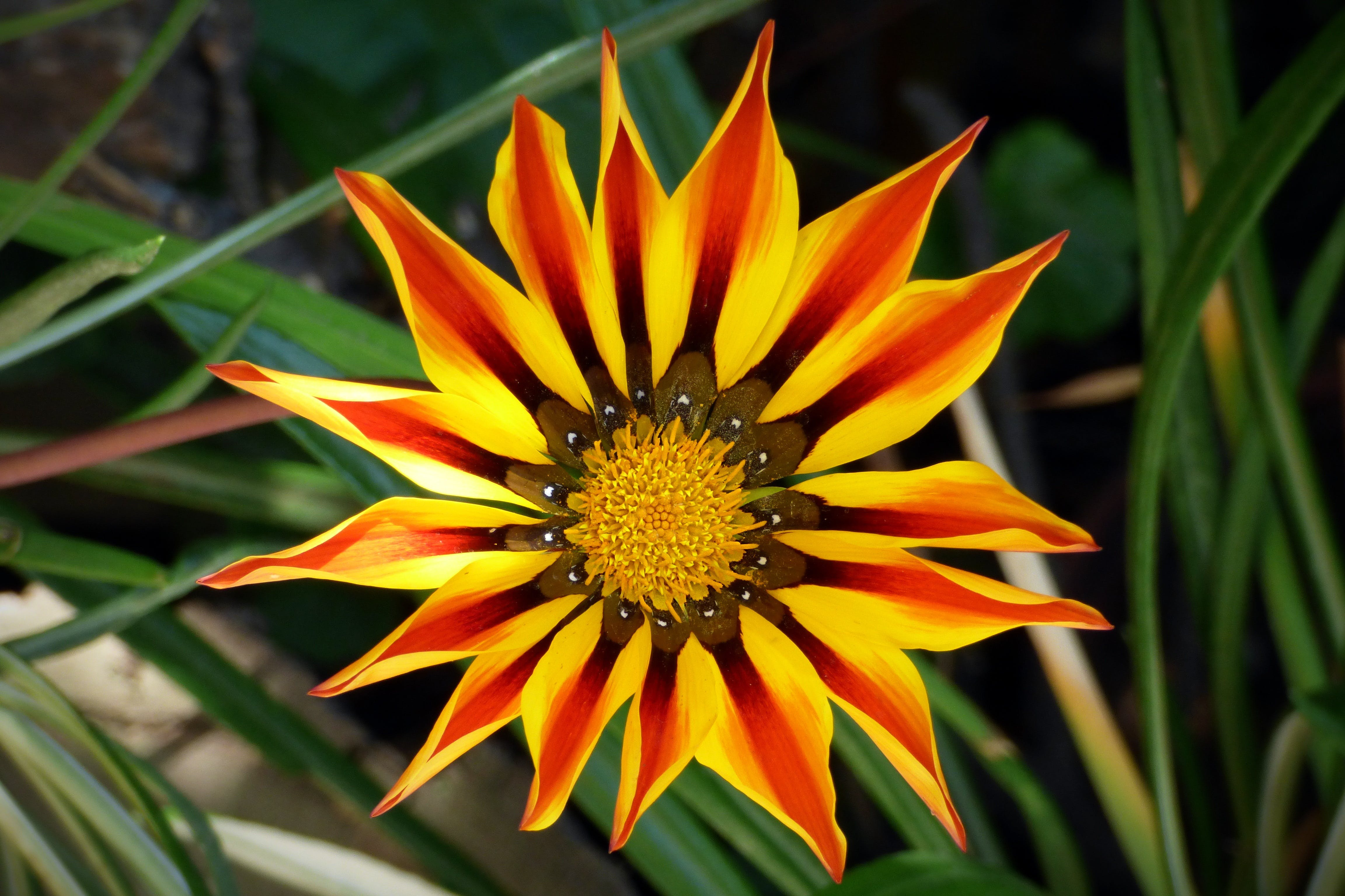 Yellow and Red Petaled Flower