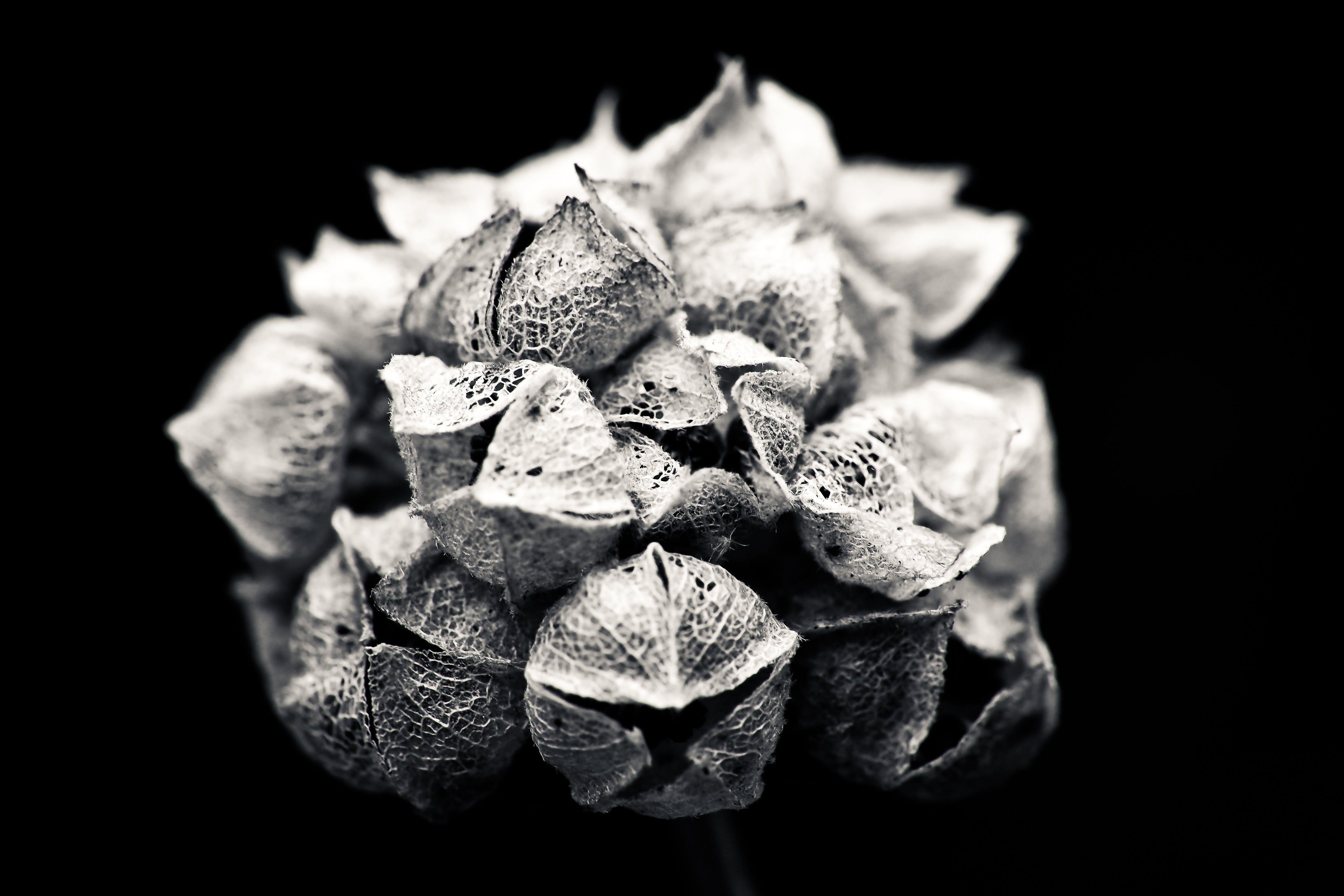 Free stock photo of black-and-white, nature, flowers, dark