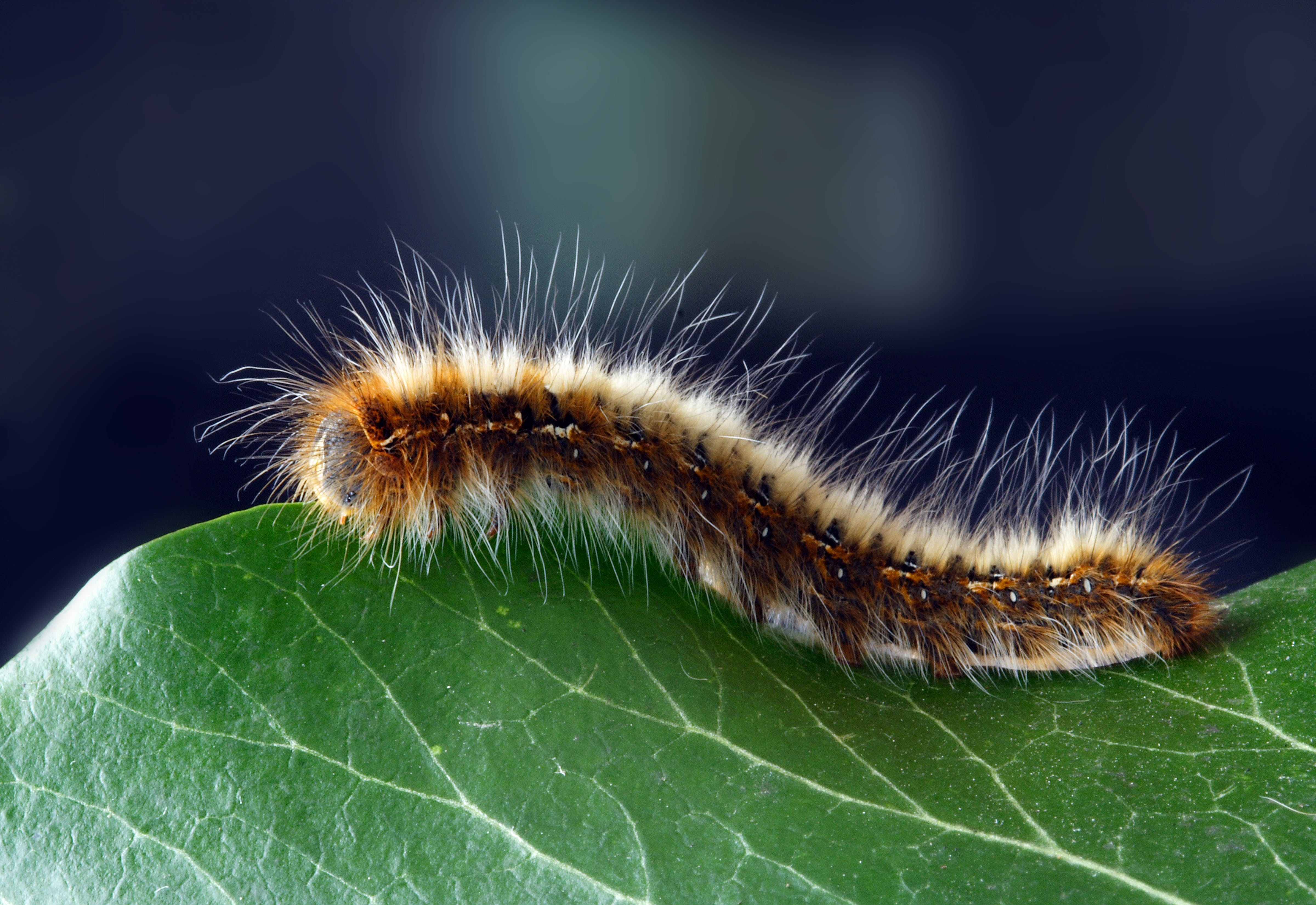 Close-up Photography of Black and Brown Moth Caterpillar