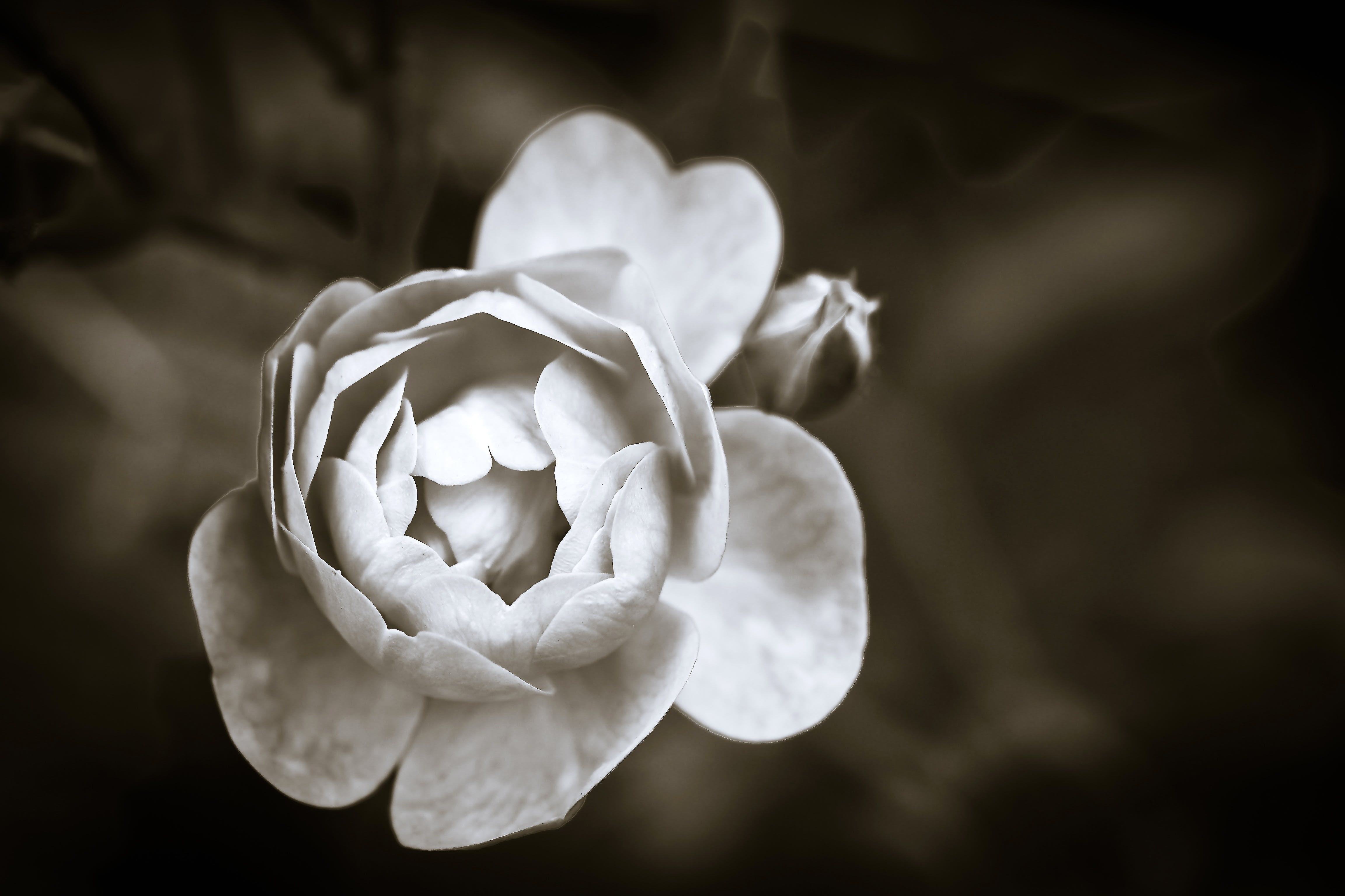 Free stock photo of black and white romantic petals plant