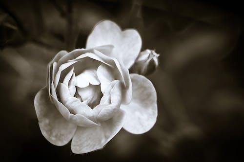 Photos gratuites de brouiller, centrale, délicat, fleur