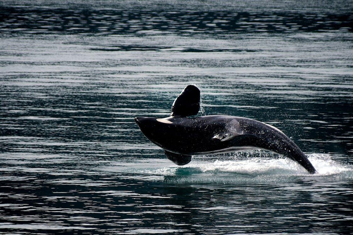 веселий, водний, дельфін