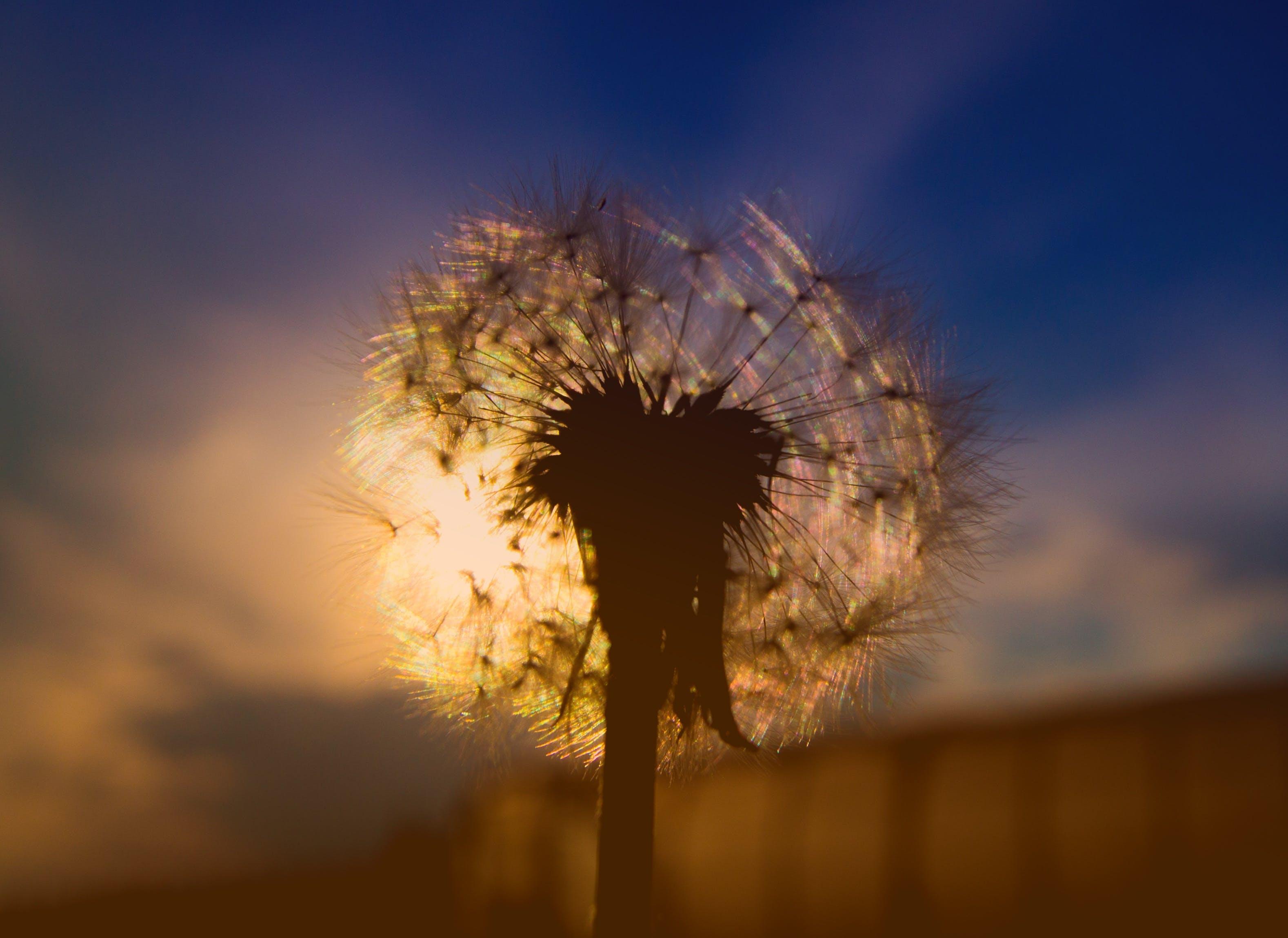 Selective Focus Photography of Dandelion