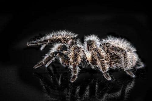 Foto d'estoc gratuïta de animal, aràcnid, aranya, desagradable