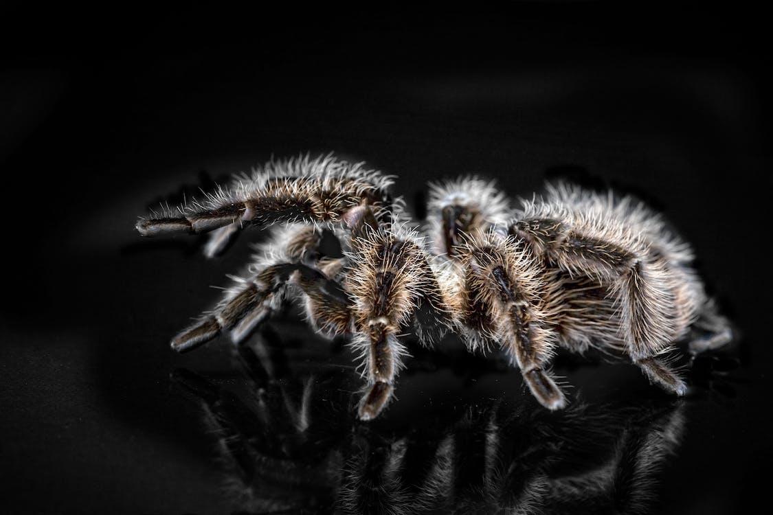 Close-up Photo of Black and Brown Tarantula