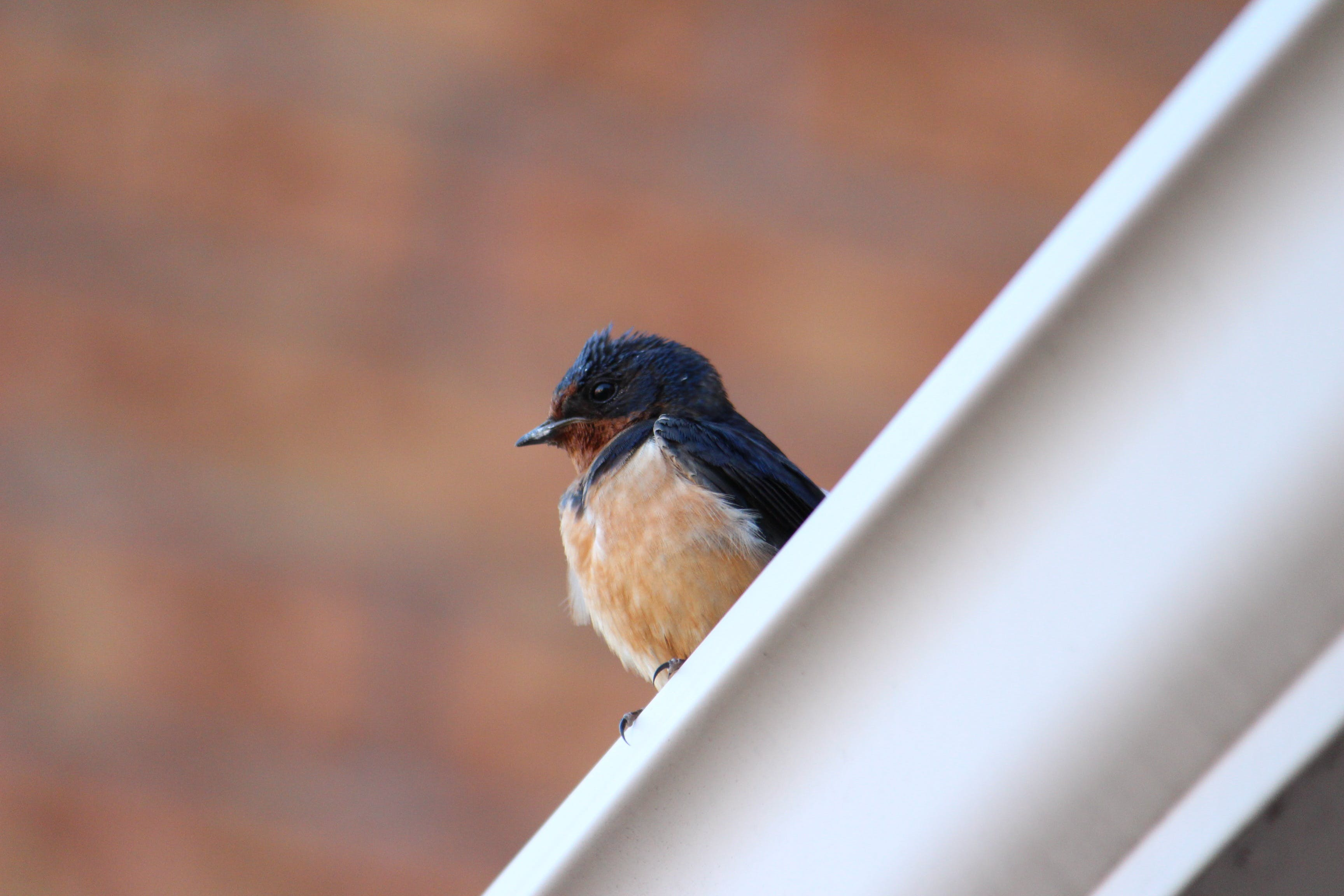 Selective Focus Photography of Barn Swallow
