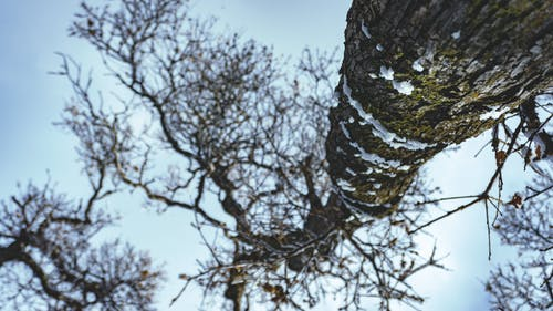 Free stock photo of moss, oak-tree, snow, tree