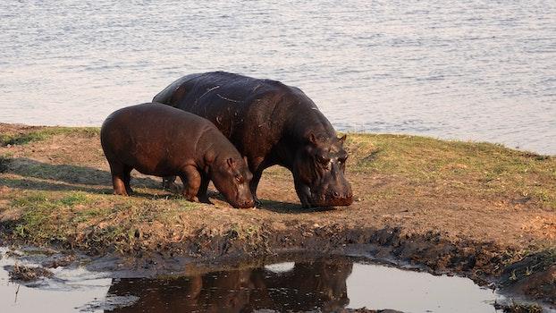 Free stock photo of nature, africa, hippo, safari