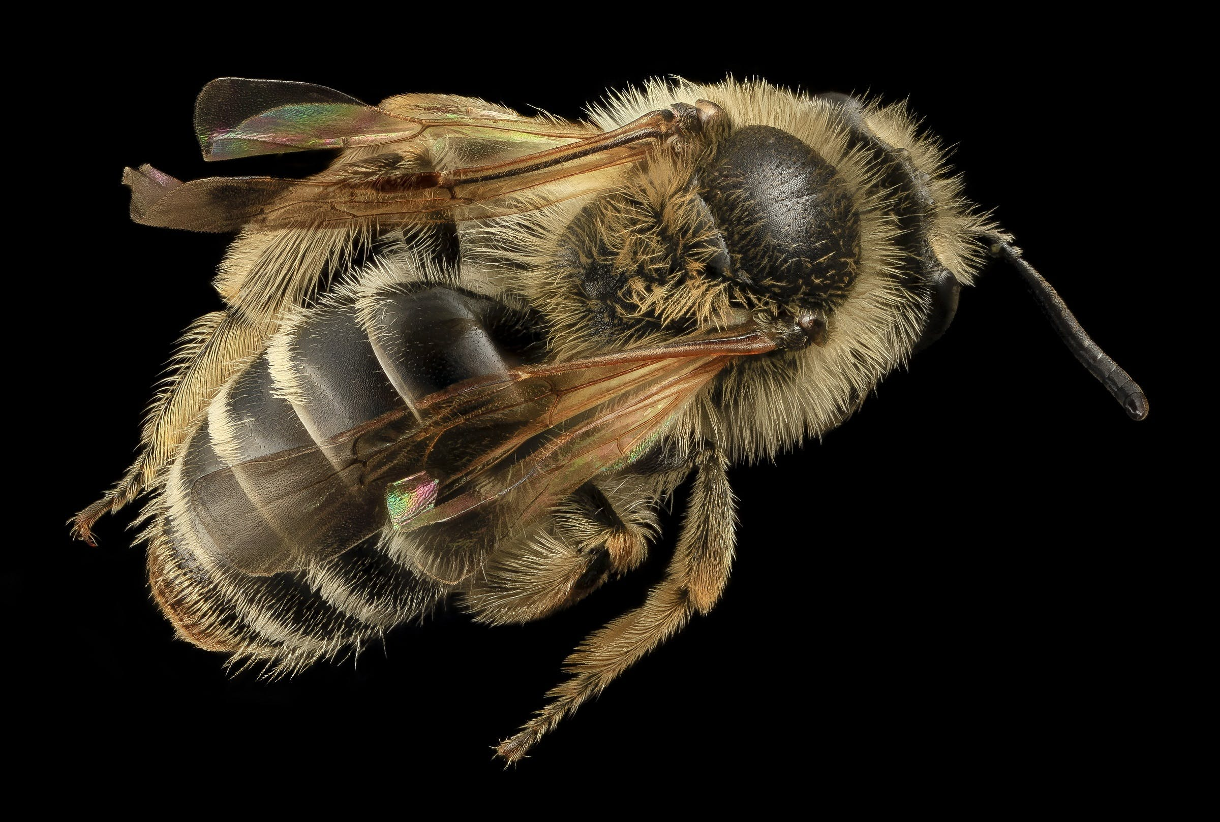 Free stock photo of legs, animal, bee, pollen