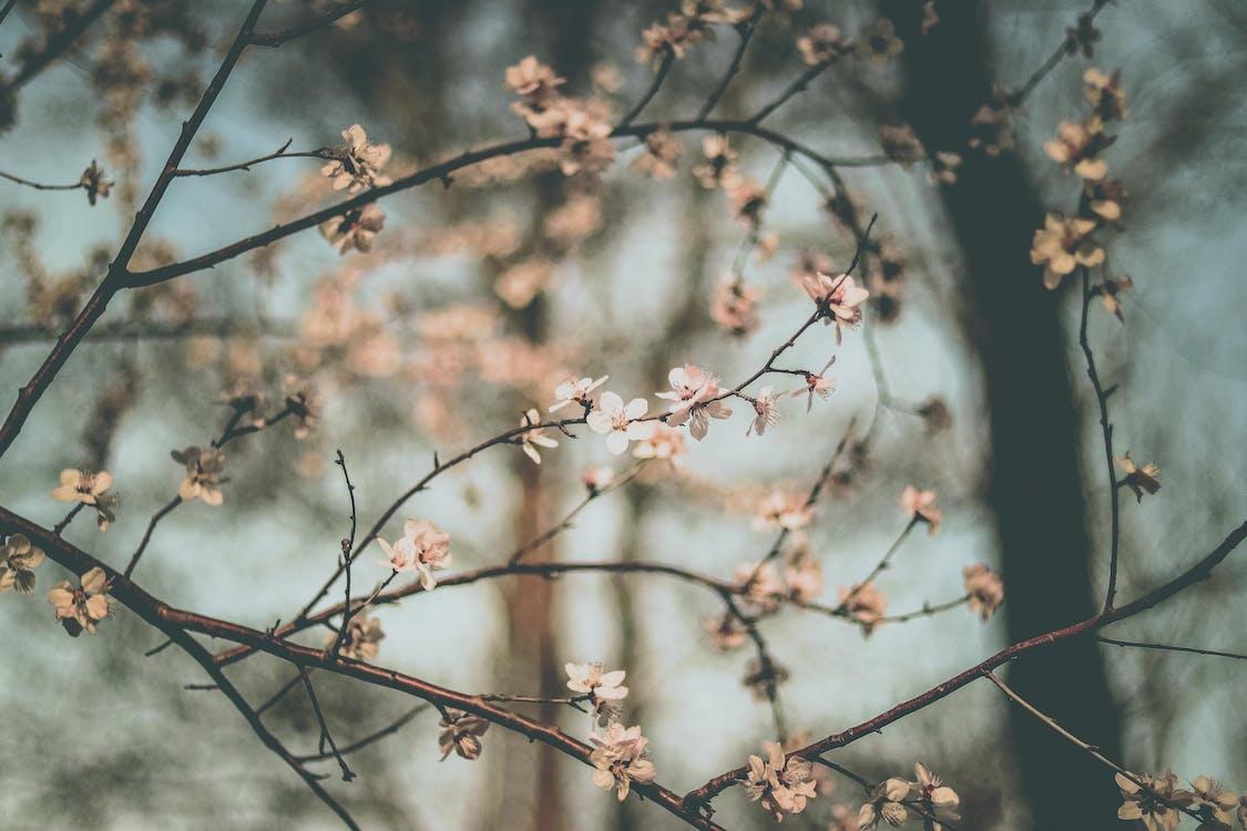 bokeh, bonito, cerezos en flor