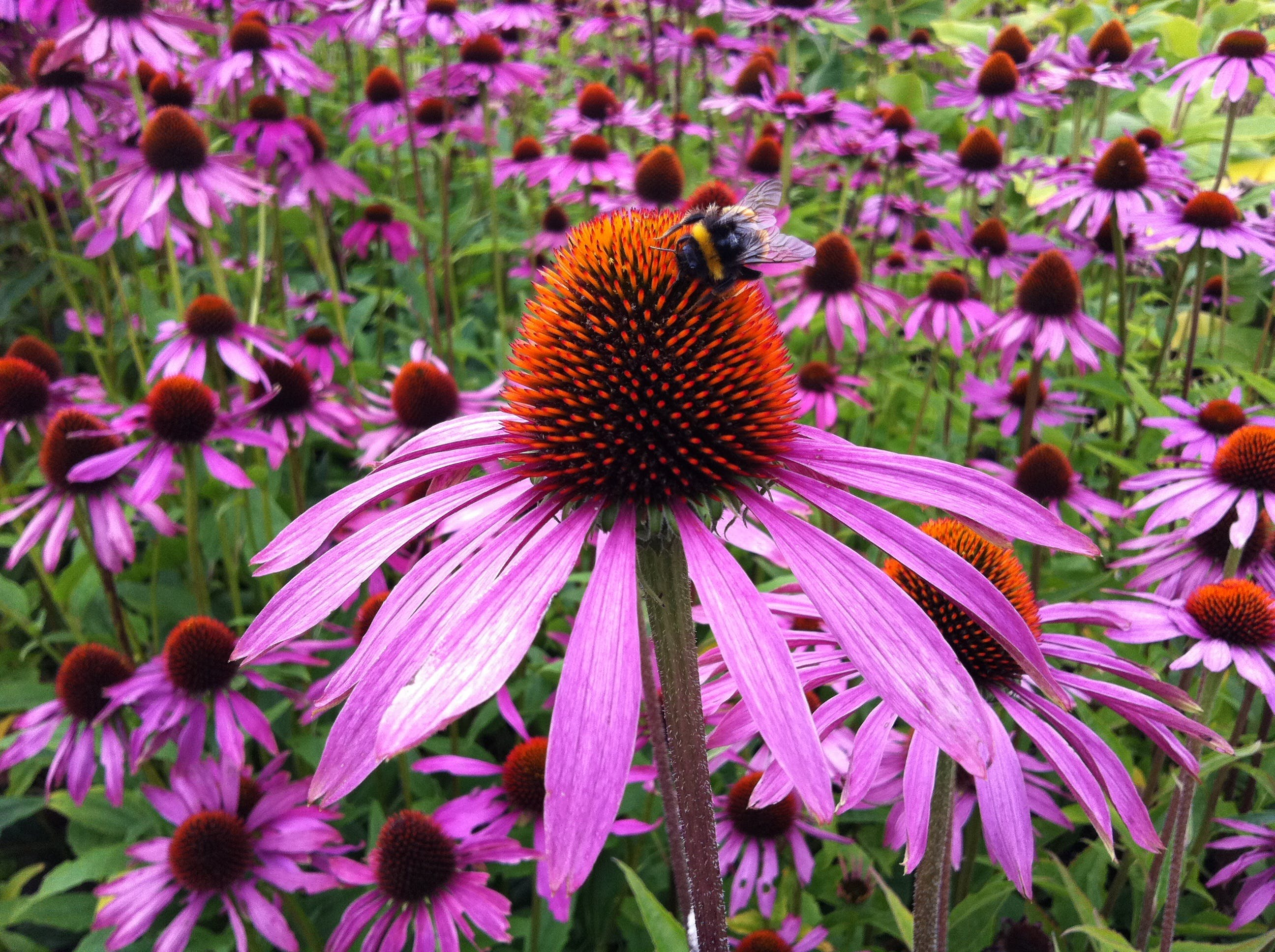 Free stock photo of nature, flower, health, echinacea