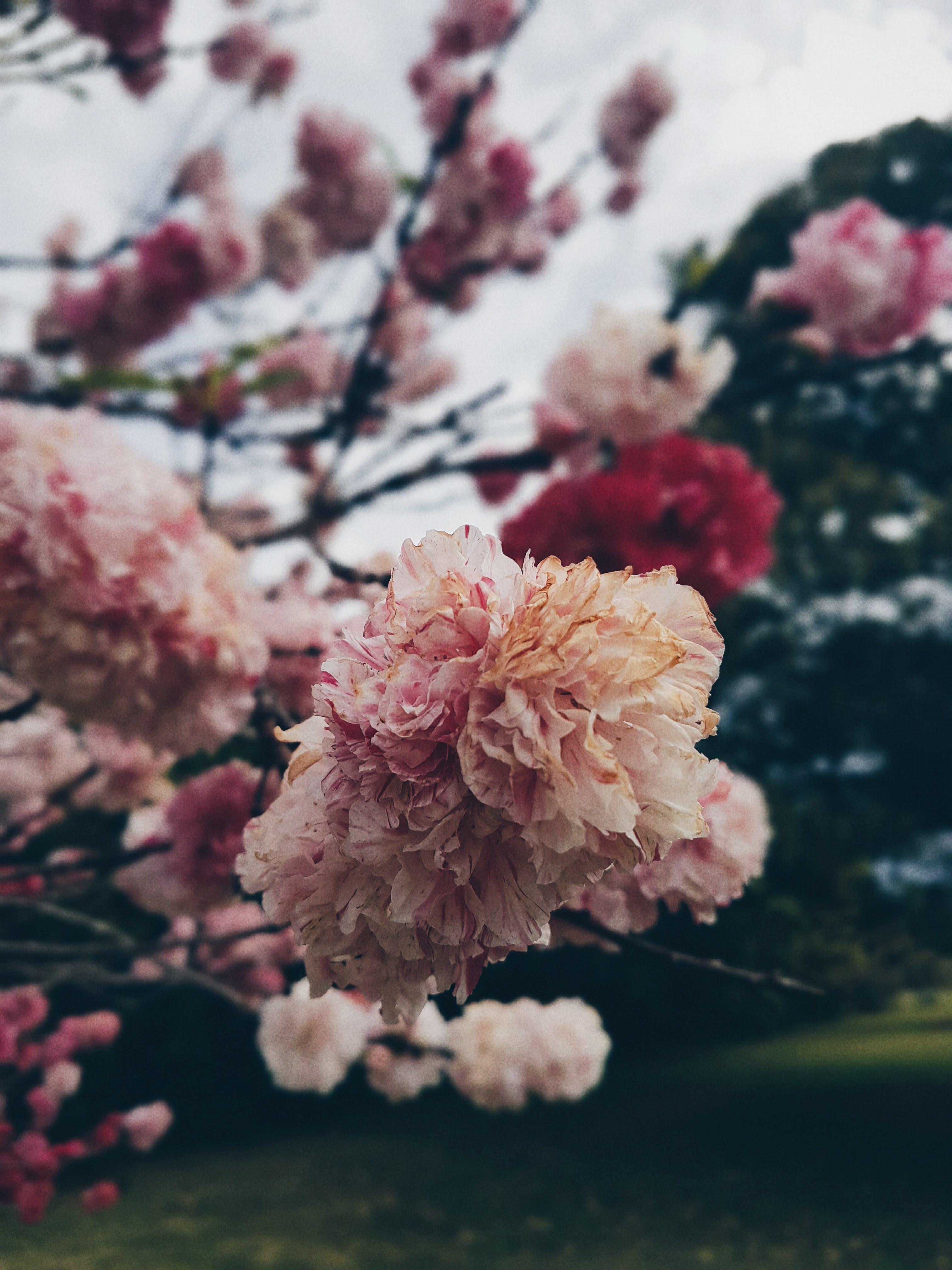 Kostenloses Stock Foto zu natur, blumen, garten, blütenblätter