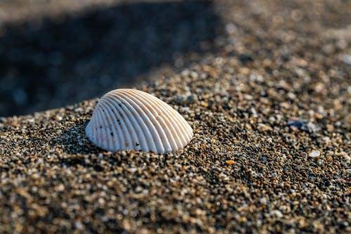 Gratis stockfoto met macrofotografie, schelp, strand, strandzand